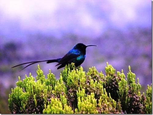 Kilimanjaro Plant Life (30)
