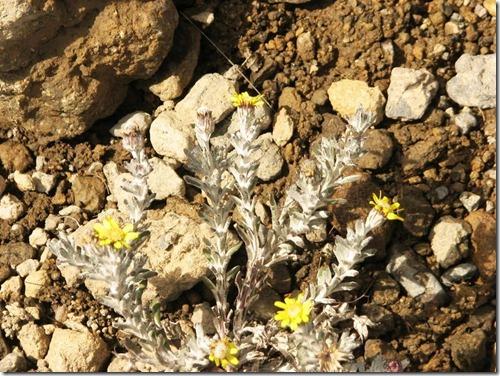 Kilimanjaro Plant Life (47)