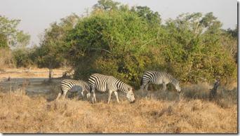 Zebras in Thailand