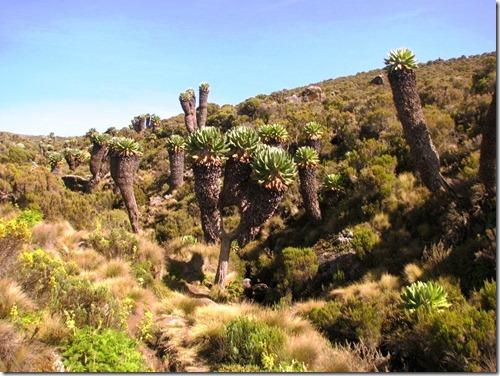 Kilimanjaro Plant Life (42)