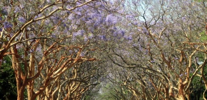 Zambian Trees in Bloom